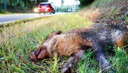 Wildschwein, Unfall, Landstraße